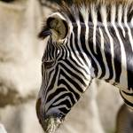 """zebra"" by AVNetwork"