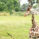 """""""giraffe"""" by avisualzen"""