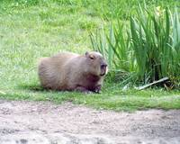 Capybara Laying Down