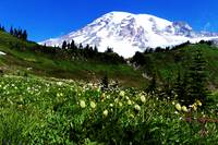 Rainier Meadow