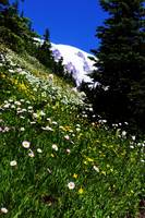 Slope Flowers on Rainier