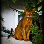 """Abyssinian Cat on a Wall"" by johncorney"