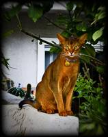 Abyssinian Cat on a Wall