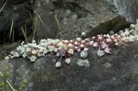 Sedums on granite