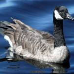 """Goose in the Lake"" by digitalife"