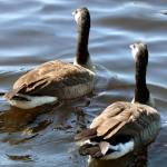 """Long Island Geese"" by digitalife"