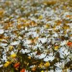 """Cederberg wild flower carpet"" by Martin_Heigan"