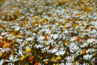 Cederberg wild flower carpet