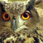 """""""Owl eyes"""" by dawnanderson"""