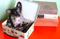 Puppy in a lunchbox