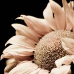 """sunflower 4"" by Happiieee"