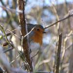 """Robin Redbreast"" by FifePhotographer"