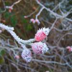 """Frosty Berries"" by FifePhotographer"