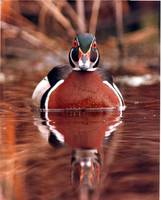 Wood Duck (Aix sponsa) mug shot