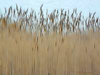 Cat tail Grass