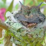 """""""Baby Hummers"""" by JohnGSchellinger"""