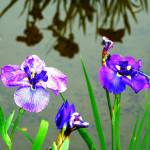 """Flowers and Reflection of Flowers"" by Bob_Wall"