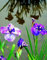 Flowers and Reflection of Flowers