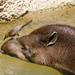 """Bird on Tapir"" by kphotos"