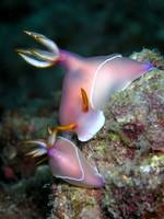 Nudibranch, mating !