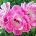"""""""Pink Flowers"""" by rdwnggrl"""