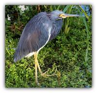 Red Eyes of the Heron