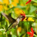 """Ruby-Throated Hummingbird"" by ovlov"
