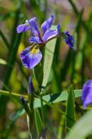 Northern Blue Flag (Iris)