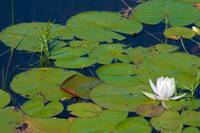 Fragrant Water Lilly