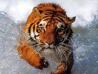 I'm Going Home Tiger