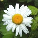 """""""Shasta Daisy Blossom"""" by OutsideShooter"""