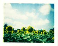 Sunflowers & Sky