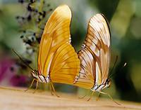 Julia Butterflies Mating