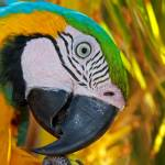 """Blue and Gold Macaw - Isle De Margarita"" by robbdee40"