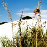 """""""Flora and Dunes at White Sands"""" by nayr"""