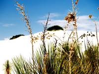 Flora and Dunes at White Sands