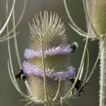 """""""Teasle with bees - 5846"""" by BartElder"""