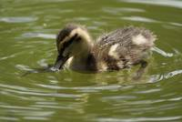 Beautiful Duckling