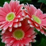 """Gerbera Daisy Blossoms"" by crazysuncompany"