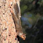 """""""Climbing Squirrel"""" by OvertonePhotography"""