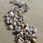 """Seashells on the Seashore"" by crazysuncompany"