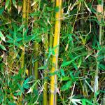 """""""Bamboo"""" by BobFikePhoto"""