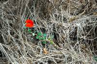 Lone Red Flower
