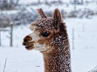 Dashing Through the Snow ~ Alpaca