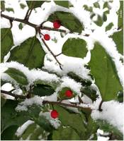 Snowcovered berry tree