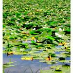 """Vernonia Oregon Mill Pond Lily Pad"" by TemetNosce"