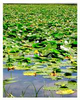 Vernonia Oregon Mill Pond Lily Pad