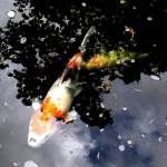 """Japanese Garden Portland Oregon Koi Fish"" by TemetNosce"