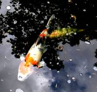 Japanese Garden Portland Oregon Koi Fish