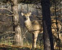 Whitetail Deer - Young Buck